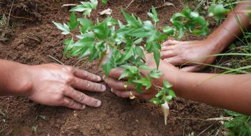 Tree seedling in Khasi Hills