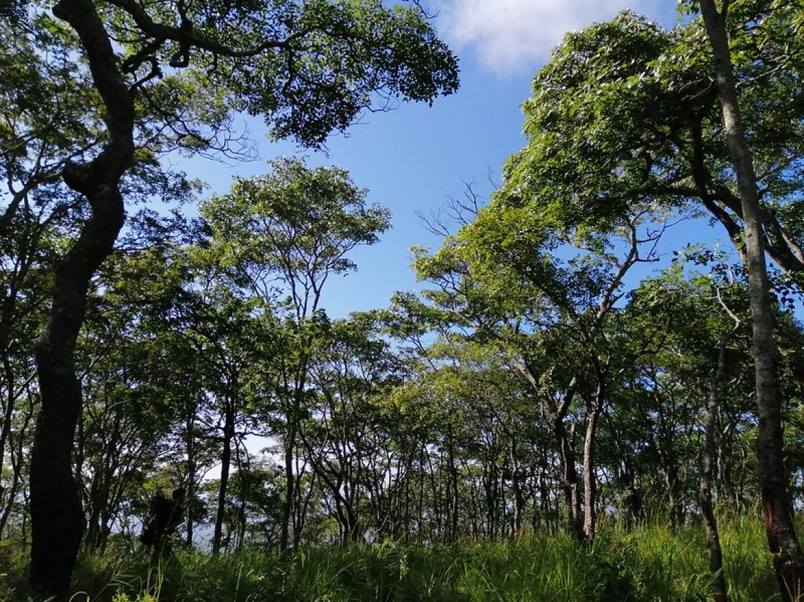 Young Miombo Forest