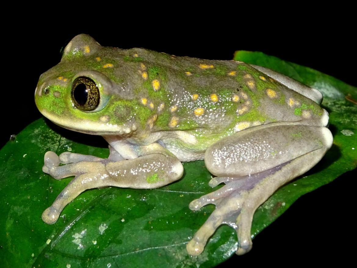 Biodiversity Yellow spotted tree frog