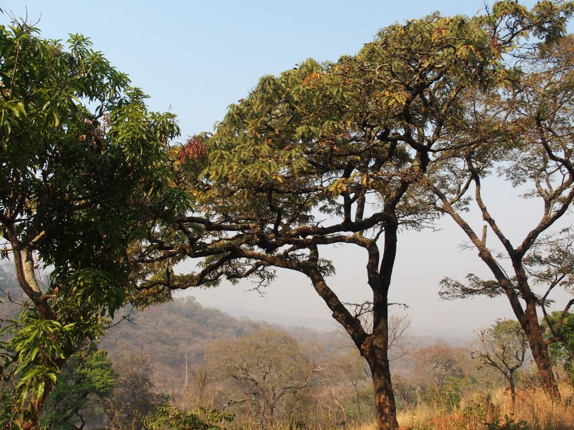 Adult Brachystegia tree in the Miombo